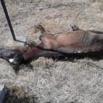 Поднесена кривична пријава за лицето кое измачувало коњи до смрт