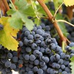 Засилени инспекциски контроли кај сите регистрирани откупувачи на грозје