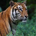 Врховниот суд во Индија дозволи да се убиваат тигри опасни за луѓето