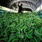 Шпанската полиција откри пет тони кокаин скриен во банани, уапсени 15 лица