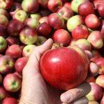 Украдени 26.800 килограми јаболка од магацин во Ресен