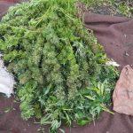 Истрага за дилер на марихуана од тетовско Слатино