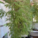 Откриени две илегални лаборатории за производство на марихуана во Скопје